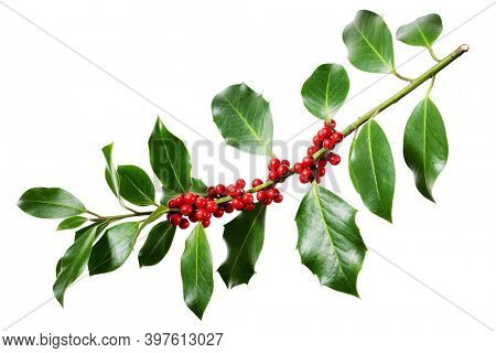 Holly branch with red berries on white. Traditional festive decoration.