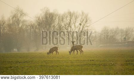 Roe Deers On A Green Field On A Foggy Morning