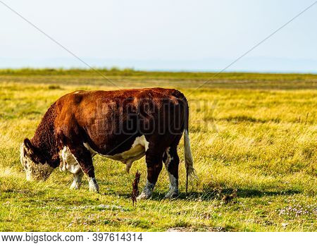 Big Hereford Cattle Bull Grazing On A Meadow.