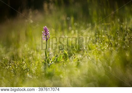 Orchis Militaris. Orchid. Nature Of The Czech Republic. Wild Nature. Plant In The Forest. Beautiful