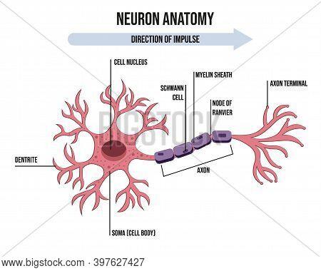 Diagram Of Neuron Anatomy. Illustration Of Neuron Anatomy. Eps 10