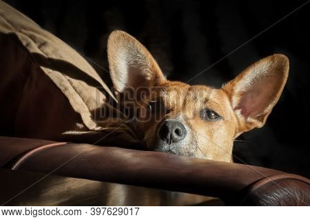 Dog With Large Ears On A Leather Sofa In Sunlight