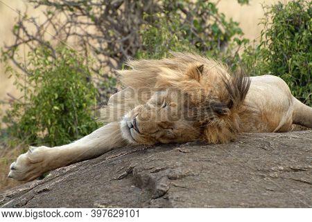 Lonely Lion Sleeping Upon The Rock. Masai Mara National Park, Kenya, Africa