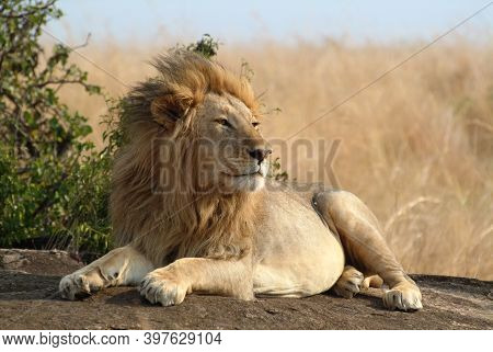 Lonely Lion Resting Upon The Rock. Masai Mara National Park, Kenya, Africa