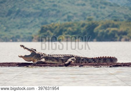 Big Reptile Nile Crocodile With Opened Mouth. Crocodylus Niloticus, Largest Crocodile In Africa, Cha
