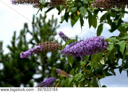 The Butterfly Shrub, Also Known As The Summer Lilac, Is One Of The Most Popular Deciduous Shrubs. It