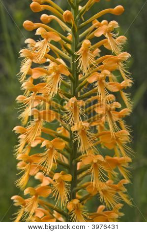 Florida Native Orchid