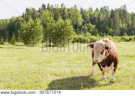 Bull. Symbol Of 2021. Zodiac Sign Taurus. Big Bull With A Ring In Its Nose, Stood Majestically In A