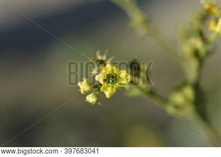 Common Rue Yellow Flower - Latin Name - Ruta Graveolens