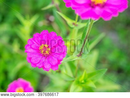 Gerbera Or Daisy, Flower Purple Color On Blurred Green Nature Background, Selective Focus, Macro