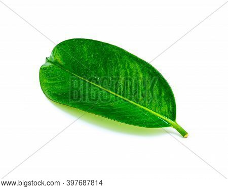 Tropical Green Leaf With Drop Water Isolated On White Background, Leaf From Natural Tropical Forest