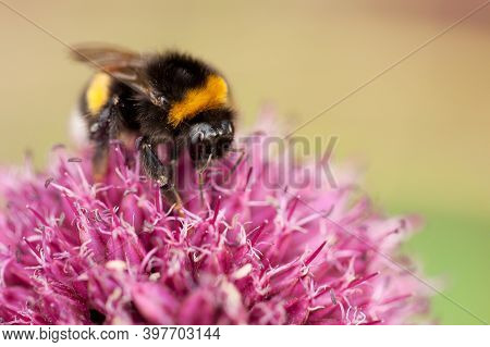 Workaholic Bumblebee Collects Sweet Pollen From A Red Fluffy Flower, This Is His Daily Work