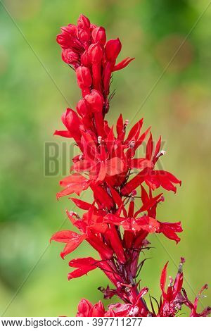 Cardinal Flower (lobelia Cardinalis) Flower