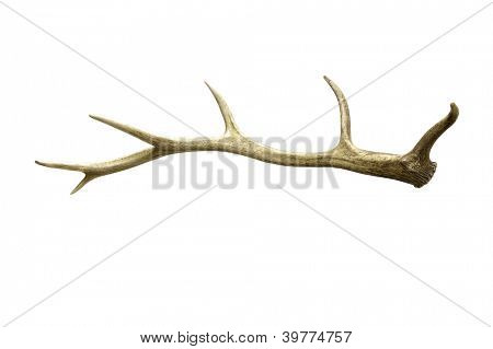 Antler from a Tule Elk (Wapiti) isolated on white