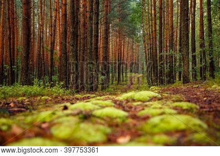 Cozy green forest and slender trunks of pine trees with a thick layer of green moss floor. Location Polissya region of Ukraine, Europe. Picturesque photo wallpaper. Discover the beauty of earth.