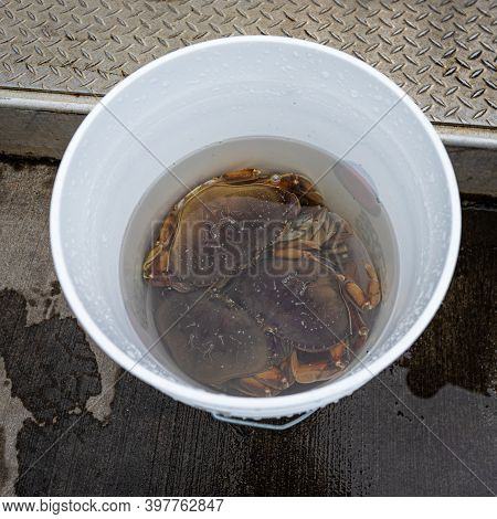 A White Bucket With Dungeness Crabs On The Trinidad Pier