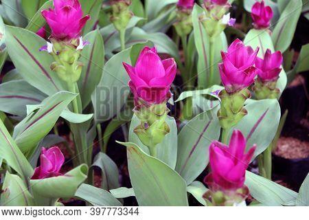 Deep Pink Siam Tulip On The Nursery Plants. Curcuma Alismatifolia Or Summer Tulip Is A Tropical Plan
