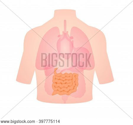 Human Anatomy Organ Small Intestine Position In Body Large Intestine Liver Lung Heart White Isolated