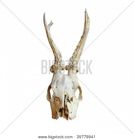 Trophy Of Roe Deer Buck