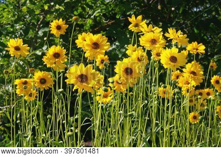 Jerusalem Artichoke Flowers Grow In Lawn In Park. Bright Yellow Flowers On Blurred Background In Mea