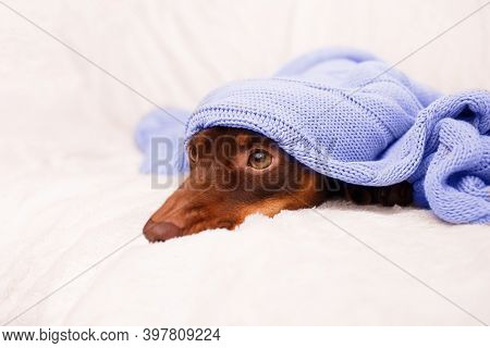 Dog Sleeps Under The Blanket Near Christmas Light. Close Up. Winter Or Dog Fears Concept. Canine Bac