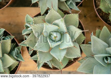Top View Of Light Green Succulents In Pots Standing On Wooden Surface. Fresh Healthy Potted Succulen