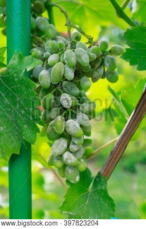 Green Bunch Of Grapes Suffering From Gray Rot