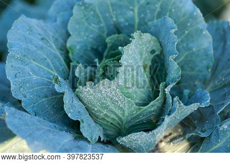 Large Number Of Aphids On The Petals In Ripe Cabbage