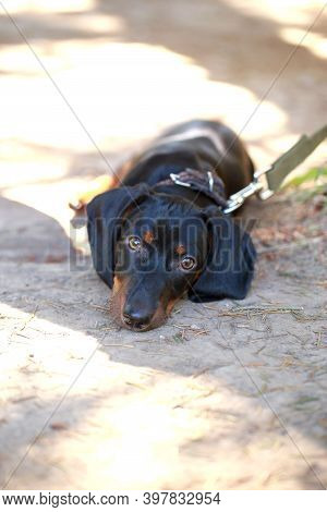 Black And Brown Dachshund Lying Down On Street