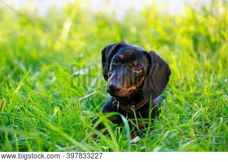 Black And Brown Dachshund Lying Down On Green Grass