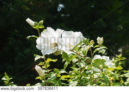 Florescence Of White Hibiscus, Syriacus In Mid August