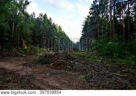 Piled Pine Tree Logs In Forest. Stacks Of Cut Wood. Wood Logs, Timber Logging, Industrial Destructio