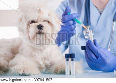 Little maltese dog at the vet office, vet with stethoscope in the background