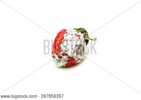 A Single Mouldy Strawberry. Rotten And Uneatable. Isolated On White Background.
