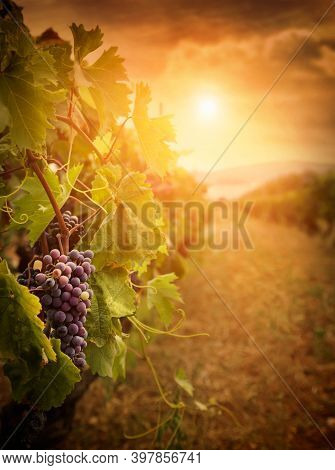 Cabernet grapes that ripen on a vine growing in a vineyard at sunset, selective focus. The vineyard