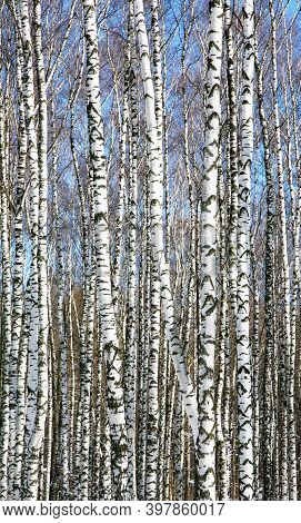 Trunks Of Slender White Birches In Spring Sunny Weather On A Blue Sky