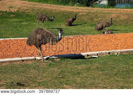 Emu Ostriches In The Sun On A Farm