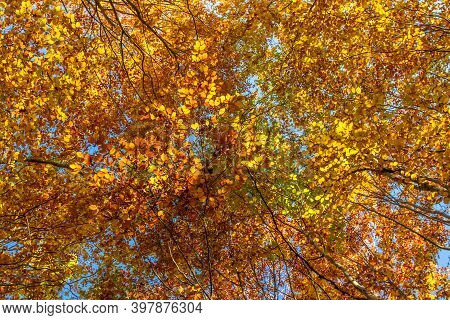Autumn Colorful Trees. Warm Autumn Sun Shining Through Golden Tree Tops With Beautiful Bright Blue S