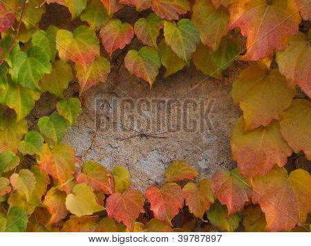 grundge wall background covered by autumn leaves of Boston Ivy or Parthenocissus Tricuspidata