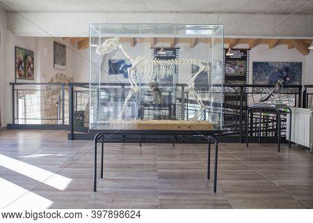 La Garganta, Spain - Nov 21th, 2020: Iberian Wolf Skeleton At Visitors Centre Of La Garganta. Cacere