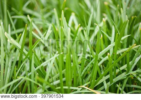 Chives Grows In The Field, Green Leaf Of Garlic Chives For Food Vegetable Cooked