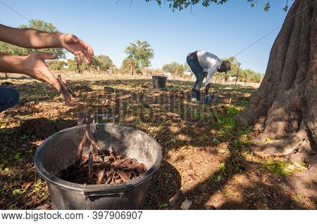 Carob Pickers At Work In The Province Of Ragusa, Sicily, September 13, 2019