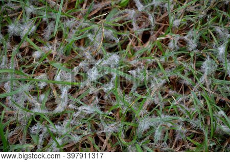 Under The Name Of Snow Mold, There Are Two Diseases Of The Lawn, Occurring In Winter And Spring. Exc