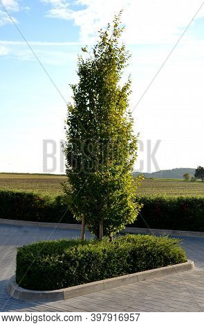 Conical From The Ground Branched Hornbeam In An Island In The Parking Lot Of Gray Interlocking Pavin