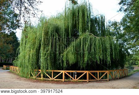 White Willow Is Usually A Massive, Fast-growing Tree. It Is Also Planted As An Ornamental Tree. It H