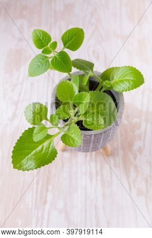 Coleus amboinicus - Cuban oregano, Spanish thyme. Used  as oregano for cooking and meat dishes