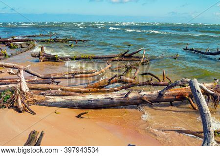 Wild Desert Beach With Fallen Trees. Cape Kolka, Latvia