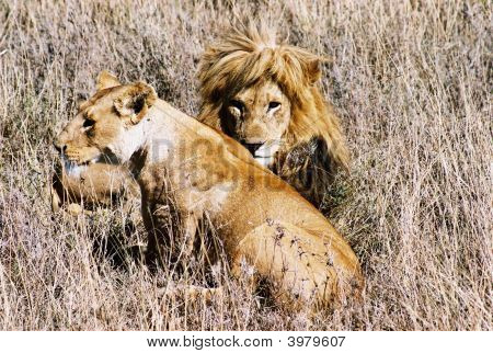 Lions From Tanzania