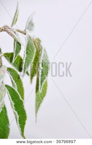 leafes with hoar frost
