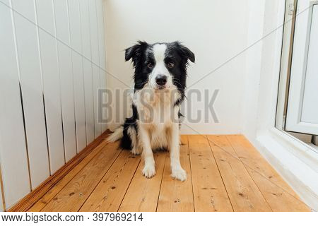 Funny Portrait Of Cute Puppy Dog Border Collie At Home. New Lovely Member Of Family Little Dog Looki